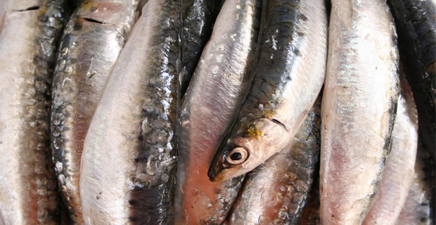 sardinas11